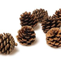 Craft Pine Cones